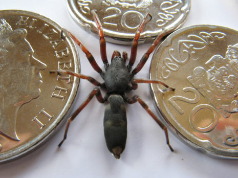 The white-tailed spider has a distinctive spot on its abdomen.