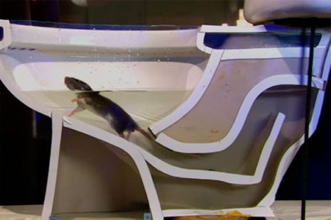 Rats are excellent swimmers.